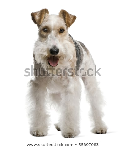 Studio shot of an adorable Fox terrier Stock photo © vauvau