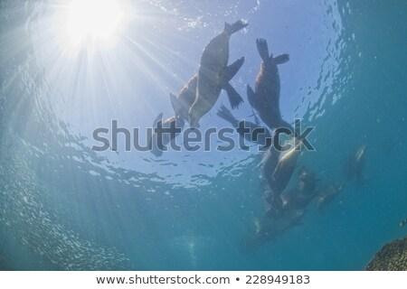 Seal swimming in the sun light Stock photo © AlessandroZocc