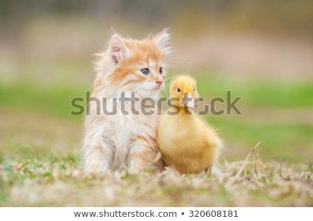 Twee weinig eendje geïsoleerd jonge Stockfoto © lypnyk2