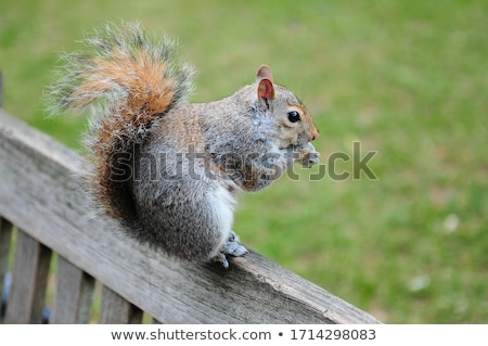 the grey squirrel in one of london parks stock photo © 5xinc