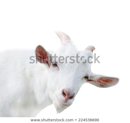 Retrato cute animales cabra blanco ojos Foto stock © artush
