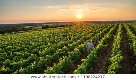 man working in his vineyard stock photo © photography33