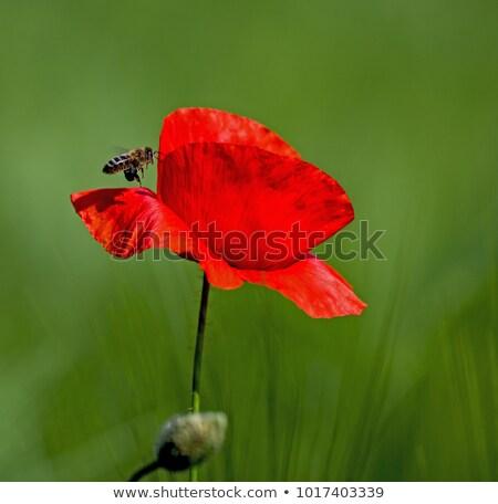 vermelho · papoula · flor · abelha · primavera · natureza - foto stock © yoshiyayo