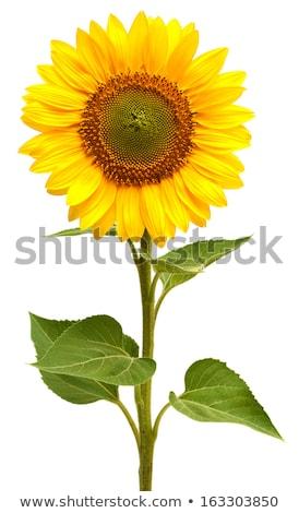 zonnebloem · Frankrijk · bloemen · natuur · Blauw · planten - stockfoto © ivonnewierink