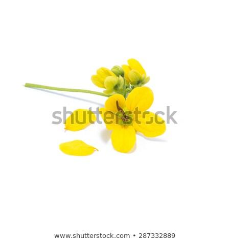 Yellow small flower Cassia Stock photo © ziprashantzi