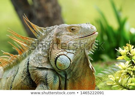 verde · iguana · árvore · natureza · corpo · fundo - foto stock © nneirda