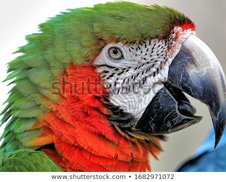 Green Military Macaw Portrait Head Shot Stock photo © billperry