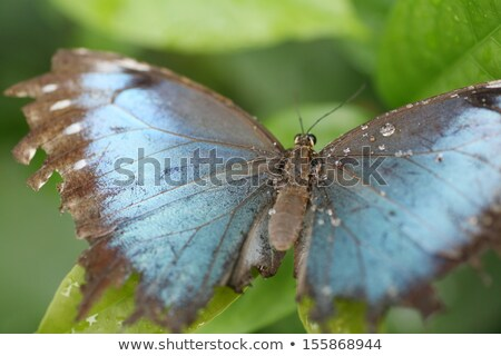 Macro shot of  blue morpho butterfly perched on a leaf.  Focus o Stock photo © dacasdo