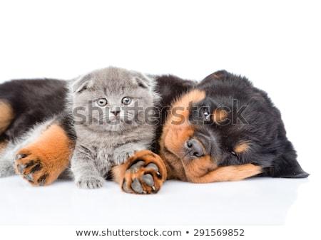 rottweiler · kiscica · fiatal · fehér · macska · barátok - stock fotó © cynoclub