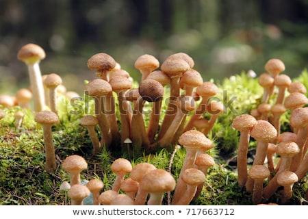 Zdjęcia stock: Jesienią · miodu · grzyby · tekstury · drzewo · żywności
