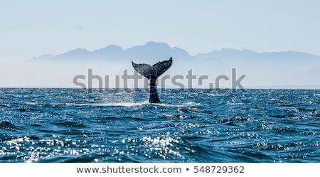 Farok tele kép alaszkai alámerülés óceán Stock fotó © bobkeenan