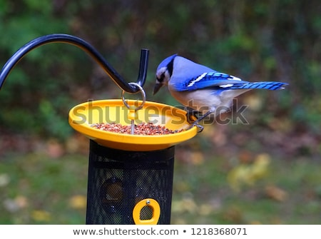 Blue Jay at feeder Stock photo © pictureguy