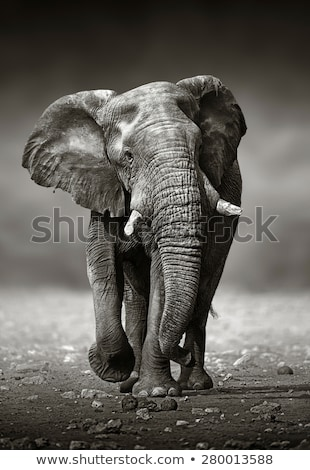Stok fotoğraf: Elephant Approach From The Front