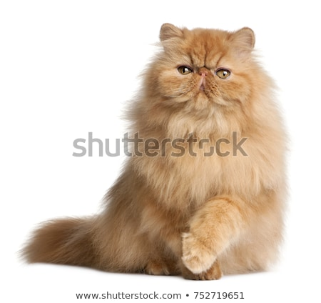 zangado · gato · persa · branco · caixa · boca · dentes - foto stock © cynoclub