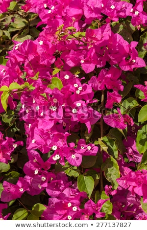 pink bougainvillea, Sharm el Sheikh, Egypt. Stock photo © master1305