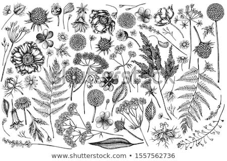 Vektor vad gyógynövények fehér háttér fű Stock fotó © djemphoto