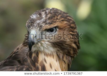 Urubu em pé campo comida natureza pássaro Foto stock © chris2766