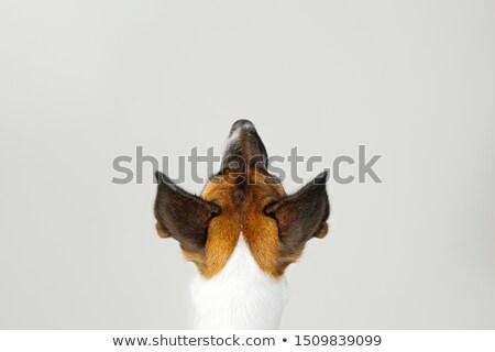 cute · szczeniak · patrząc · psa · piętrze - zdjęcia stock © iko