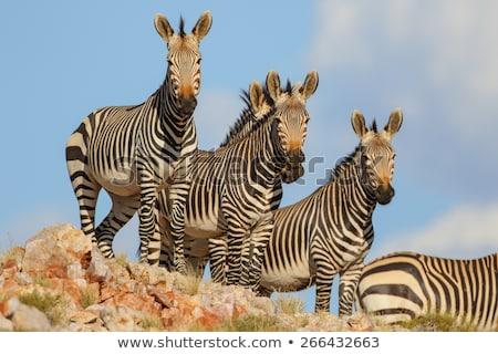 Mountain Zebra Stock photo © zambezi