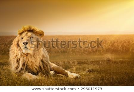 Férfi oroszlán pihen fű park Dél-Afrika Stock fotó © simoneeman