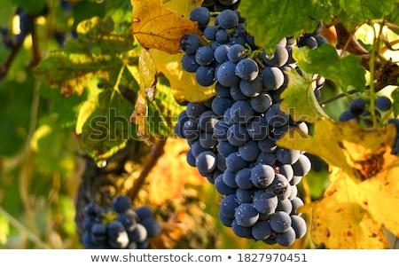 Szőlő Gyümölcsök: Szőlőskert Stock Fotók, Képek és Vektografikák