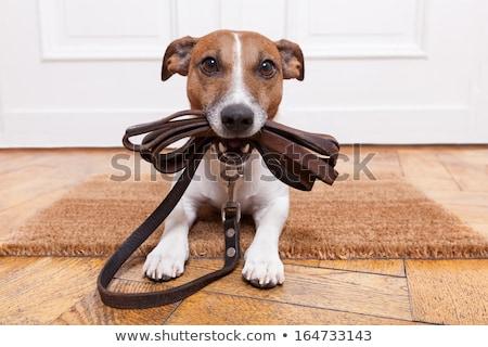 Sevimli köpek bekleme yürümek labrador retriever tasma kayışı Stok fotoğraf © Chalabala