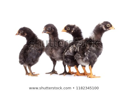 Group of black chickens looking with suspicion - isolated on whi Stock photo © lightkeeper