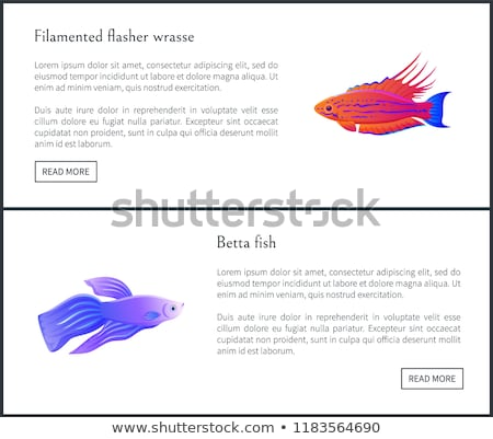 Filamented Flasher Wrasse Set Vector Illustration Stock photo © robuart