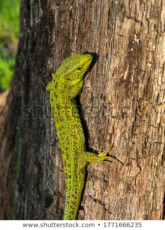 closeup of juvenile green lizard stock photo © taviphoto