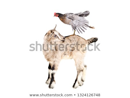 Little cute farm animal sheep stands isolated on white background. Vector cartoon close-up illustrat Stock photo © Lady-Luck