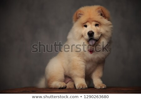 happy chow chow with bowtie looks down to side stock photo © feedough