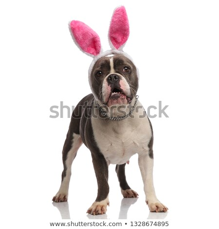 scared american bully dressed as easter bunny looks to side stock photo © feedough
