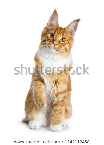 Stock photo: Gorgeous red Maine Coon kitten on black