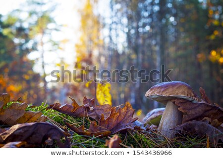 Champignons feuillus forêt naturelles organique plantes Photo stock © romvo