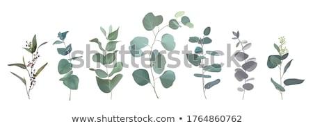 Purple мудрец листьев трава лист изолированный Сток-фото © marilyna