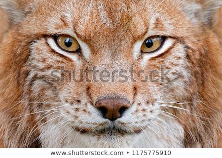 クローズアップ 肖像 オオヤマネコ 猫 アメリカ ストックフォト © jaykayl
