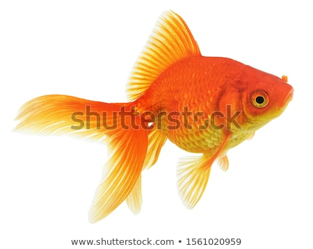 Foto stock: Orange Goldfish On White