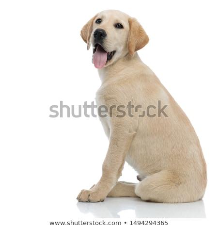 сидящий щенков Лабрадор Лабрадор ретривер кремом белый Сток-фото © feedough