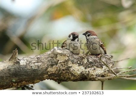 スズメ ツリー 鳥 緑 支店 野生動物 ストックフォト © chris2766