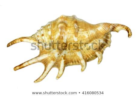 Single sea snail, isolated on white Stock photo © haraldmuc