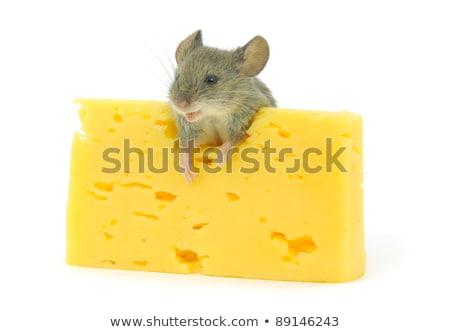 Mouse formaggio isolato bianco fetta sporca Foto d'archivio © alptraum