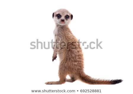 meerkat baby stock photo © kmwphotography