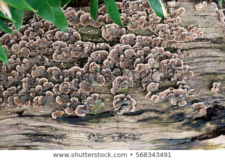Background of fungus growing on a log Stock photo © lucielang