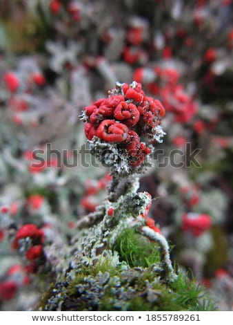 cladonia coccifera lichen red pixie cup stock photo © tainasohlman