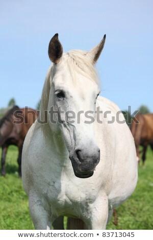 white angel riding a pure white horse stock photo © konradbak