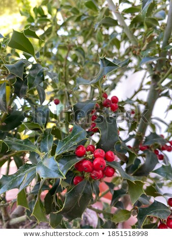 Fruit of a typical holly Christmas acebo stock photo © Dserra1