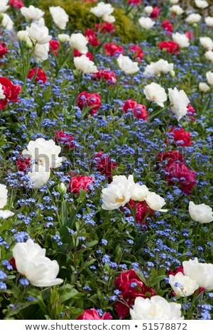 Gardenia and Forget me not Stock photo © devon