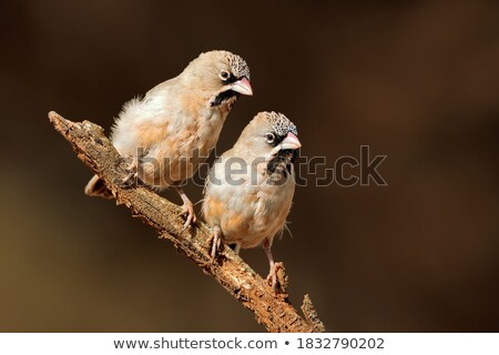 Scaly Weaver Bird (Sporopipes squamifrons) Stock photo © fouroaks