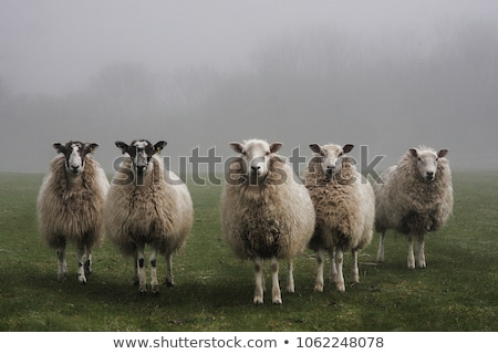 Five sheeps Stock photo © bluering