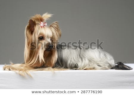 long hair yorshire terrier lying in a studio stock photo © vauvau